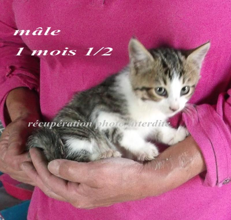 Chatte et ses 2 chatons mâle et femelle  ± 1 m 1/2 - Fourrière Sud 44 - Délai légal 07/10/2015 1f15