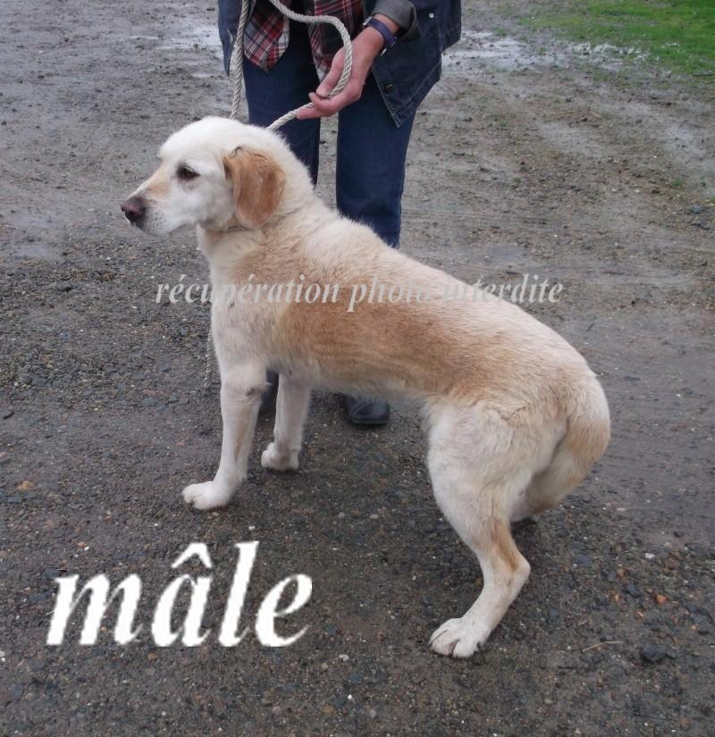 Mâle labrador sable (taille petit) - Fourrière Sud 44 - Délai légal 19/11/2015 2f17