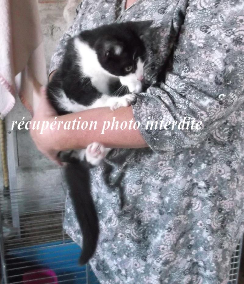 Chaton mâle 3 mois noir et blanc - Fourrière Sud 44 - délai 09/09/2015 3f10