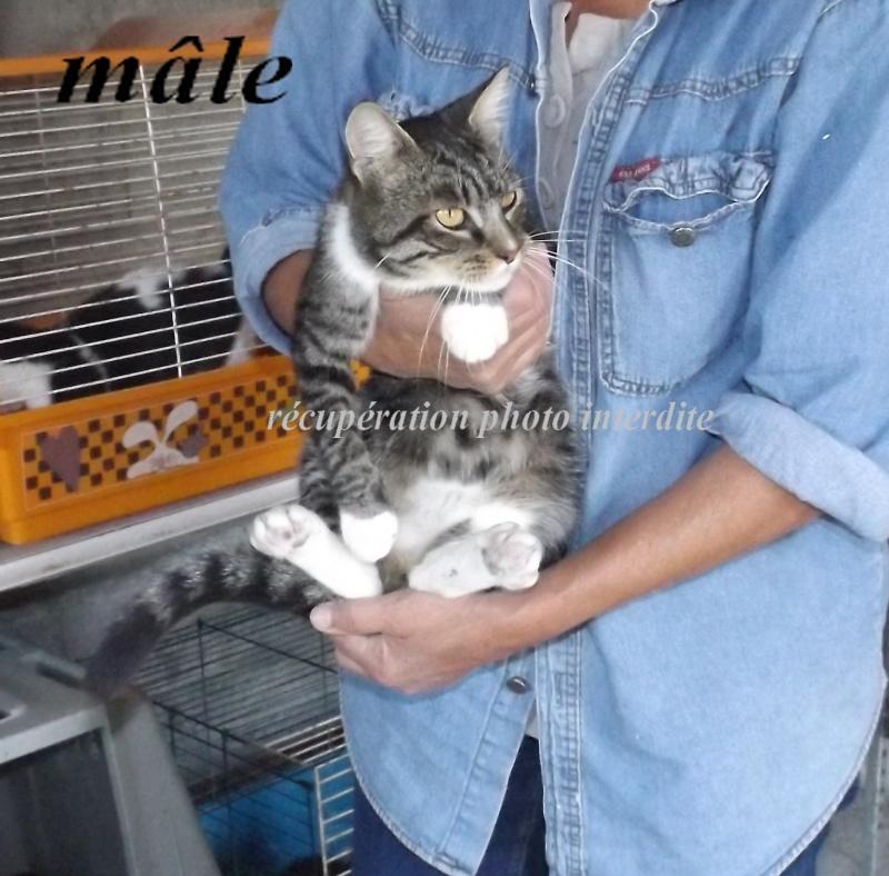 Chat adulte mâle non castré blanc et gris tigré - Fourrière Sud 44  - Délai 15/09/2015 4f11