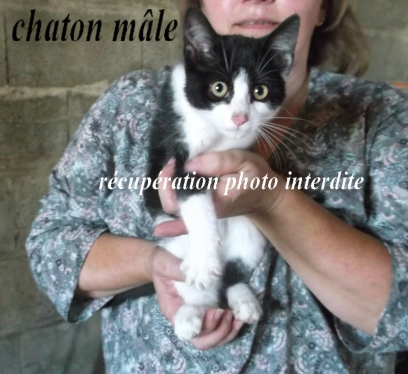 Chaton mâle 3 mois noir et blanc - Fourrière Sud 44 - délai 09/09/2015 5ff10