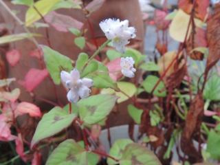 Les plantes des ami(e)s Dscn9322