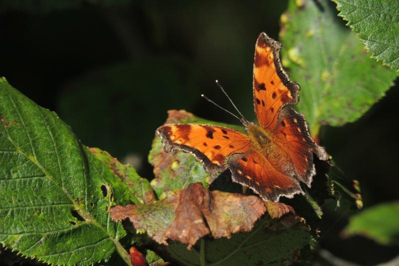 id - papillon Dscn8110