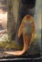 Cohabitation poissons rouges/Poissons tropicaux Dsc_0010