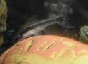 Cohabitation poissons rouges/Poissons tropicaux Poi_310