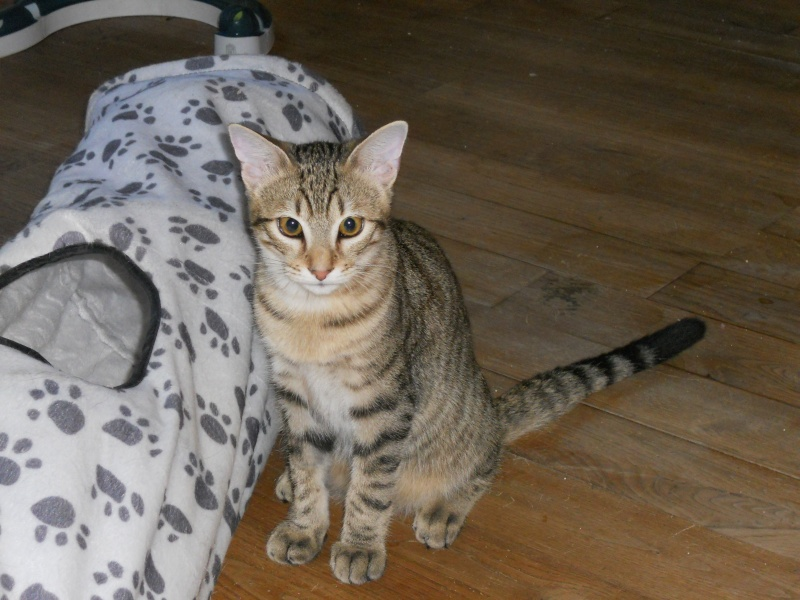 Lago, chaton en or, né en mars, en accueil sur Niort  Dscn4610