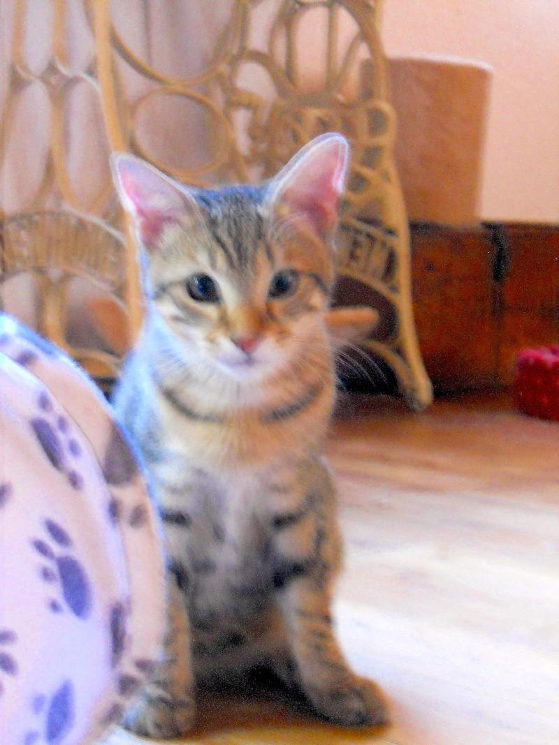 Lago, chaton en or, né en mars, en accueil sur Niort  Fscn4610