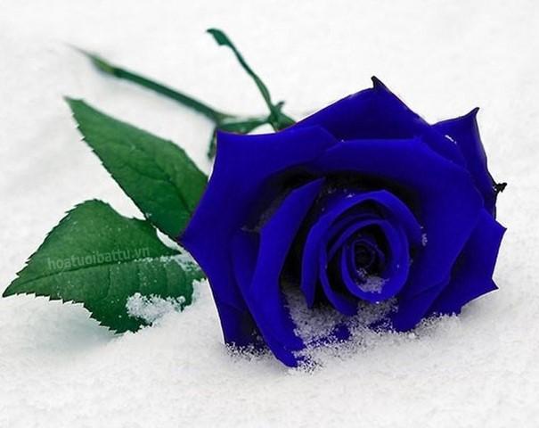 Hoa hồng xanh dương Hoa-ho11