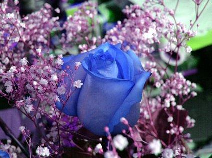 Hoa hồng xanh dương Hoa-ho14