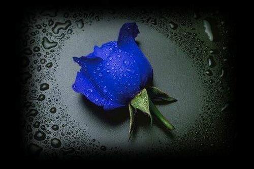 Hoa hồng xanh dương Hoa-ho15
