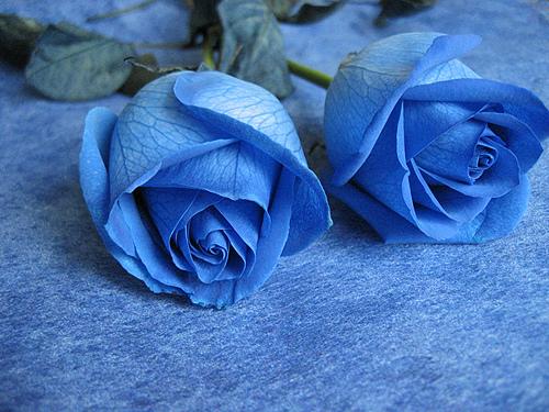 Hoa hồng xanh dương Hoa-ho17