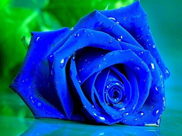 Hoa hồng xanh dương Hoa-ho19