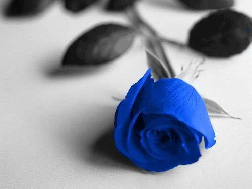 Hoa hồng xanh dương Hoa-ho20