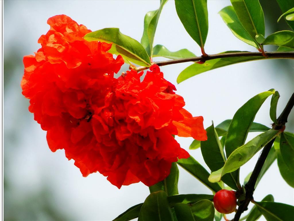 Hoa lựu Tai-hi10