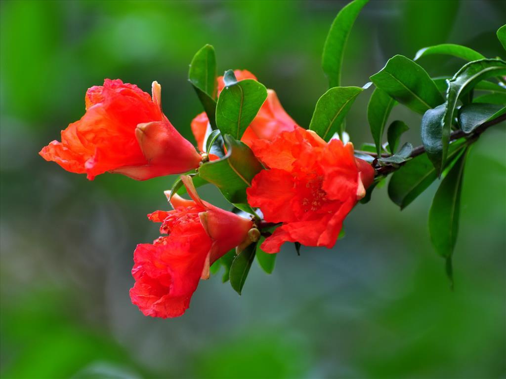 Hoa lựu Tai-hi11