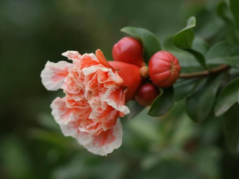 Hoa lựu Tai-hi12