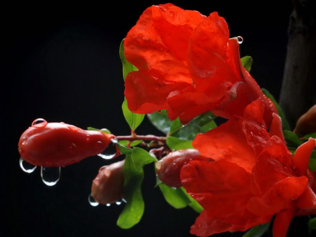 Hoa lựu Tai-hi13