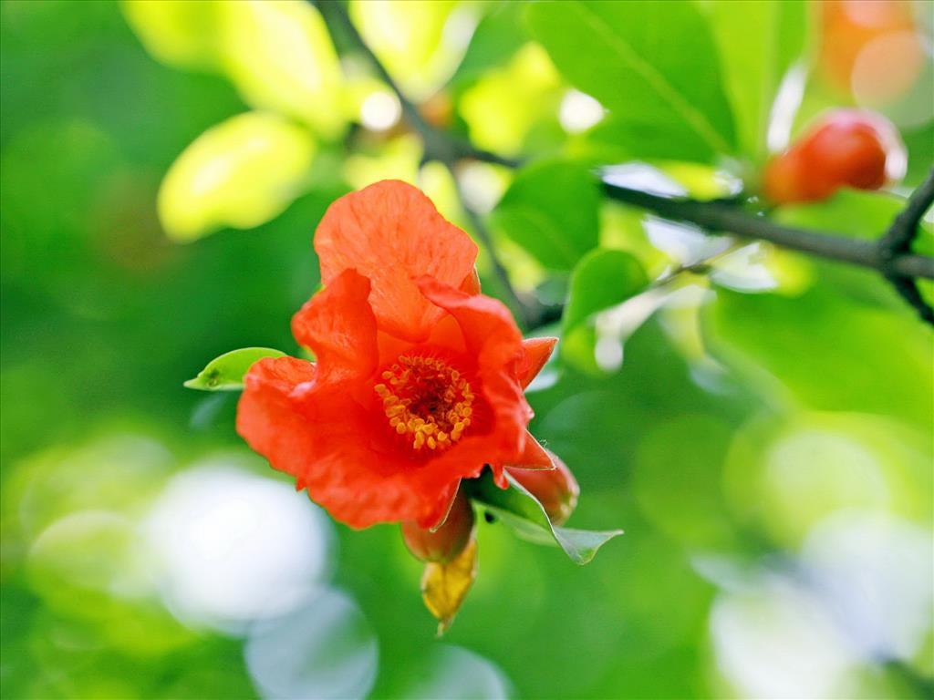 Hoa lựu Tai-hi14