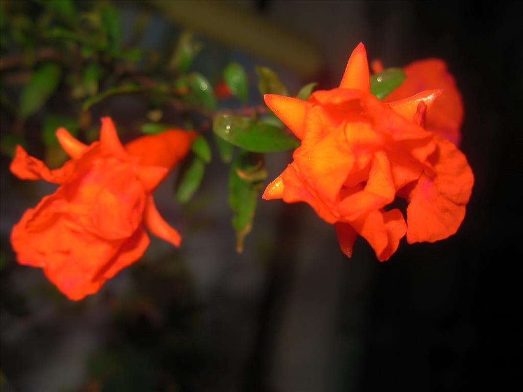 Hoa lựu Tai-hi15