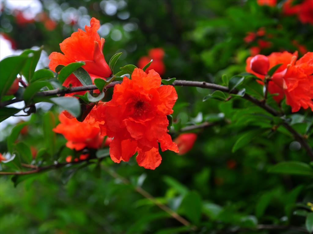 Hoa lựu Tai-hi16