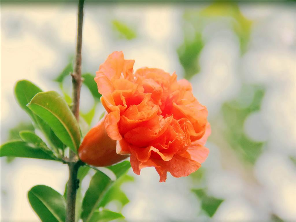 Hoa lựu Tai-hi18