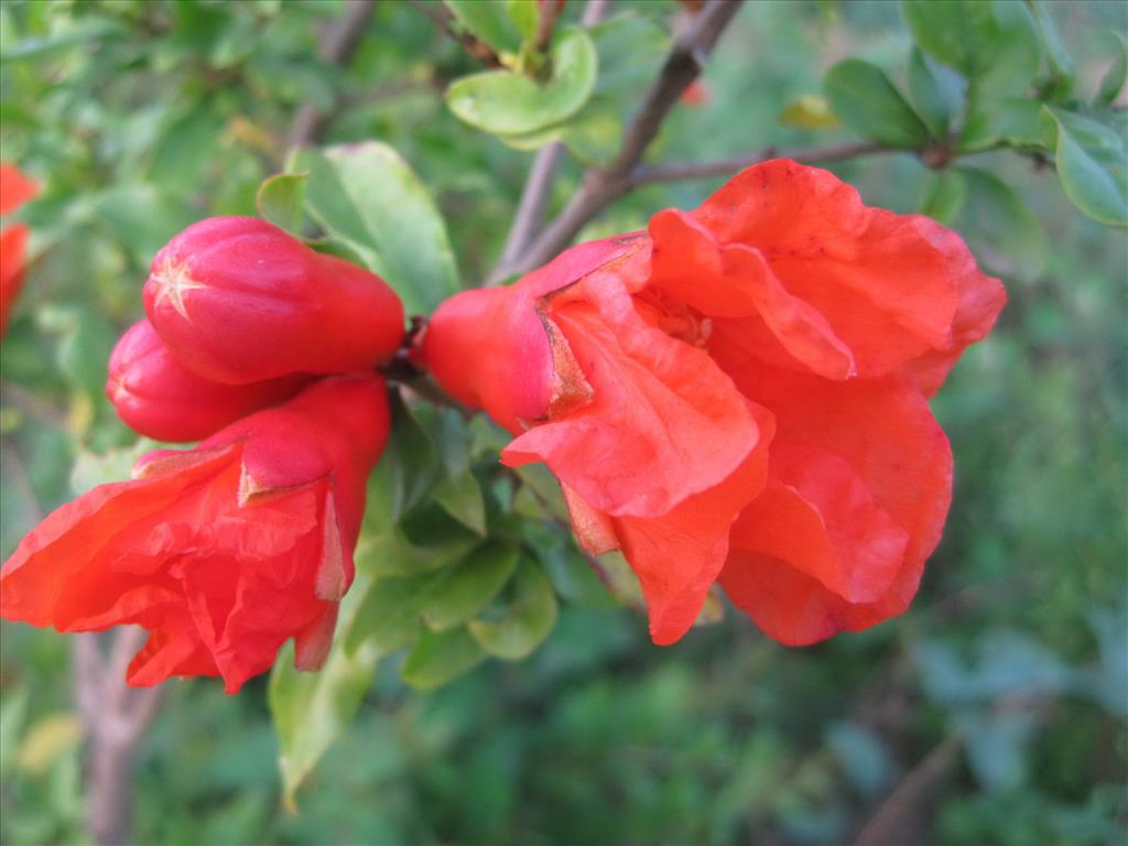Hoa lựu Tai-hi19