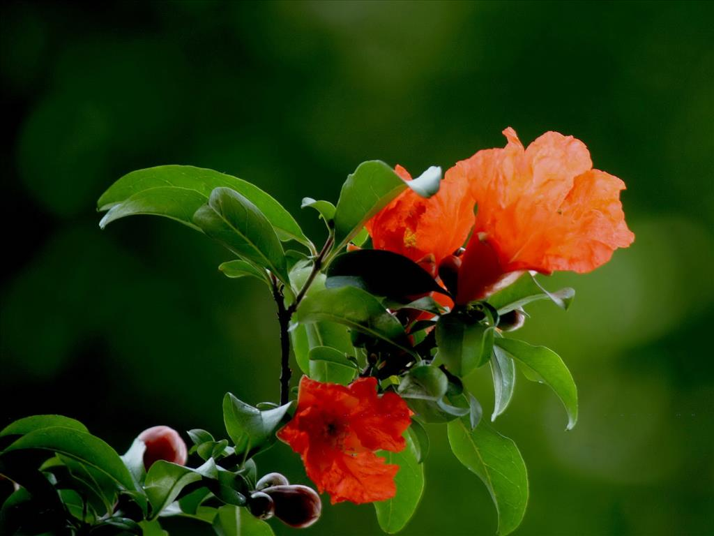 Hoa lựu Tai-hi21