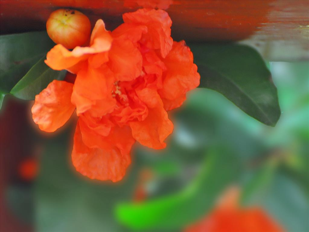 Hoa lựu Tai-hi22