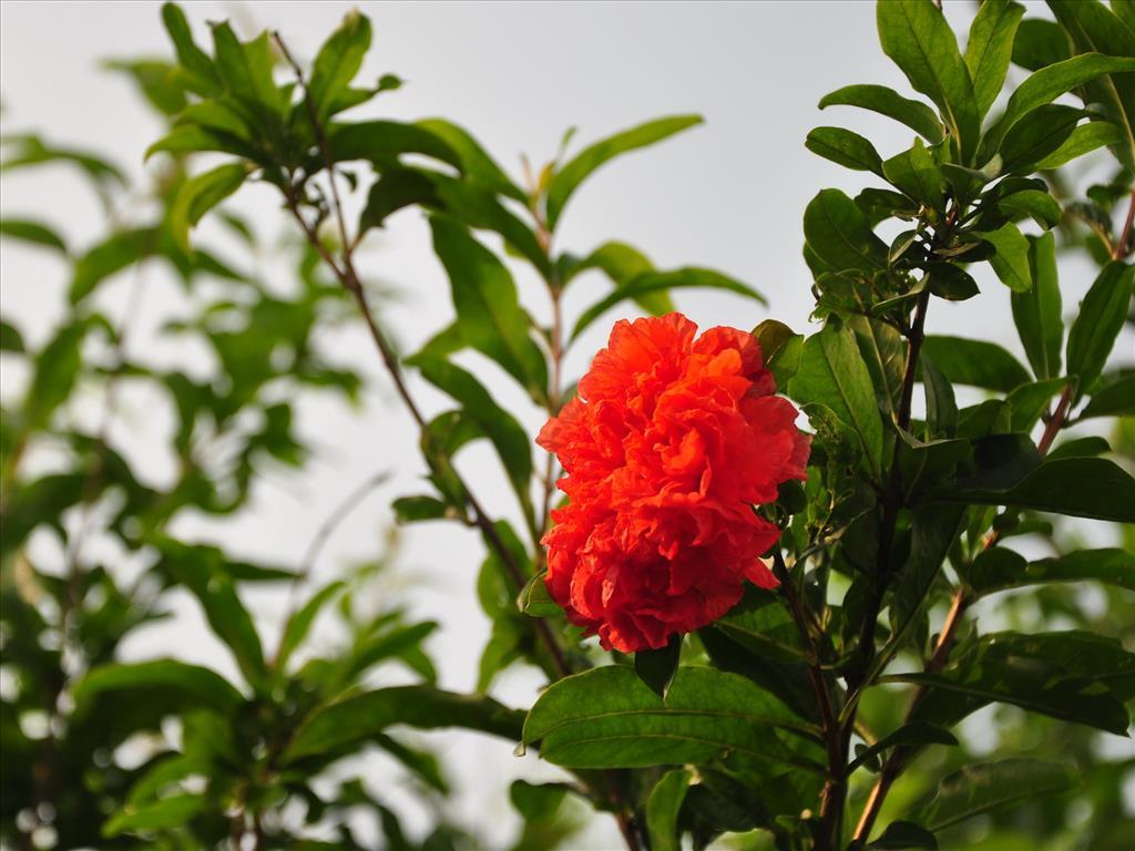 Hoa lựu Tai-hi26