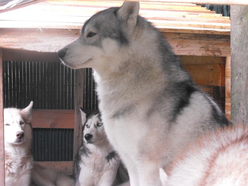 Diego husky LOF de 28mois dans le 49 ( Maine et loire) DECEDE - Page 3 Dscf2515
