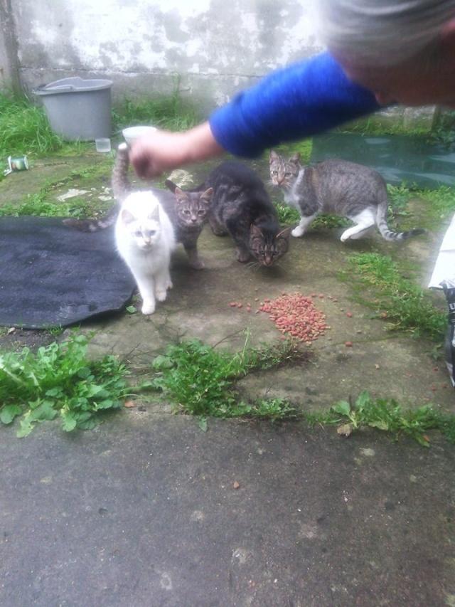 SOS pour 7 chats dont 2 chatons siam dans le 62 11693910
