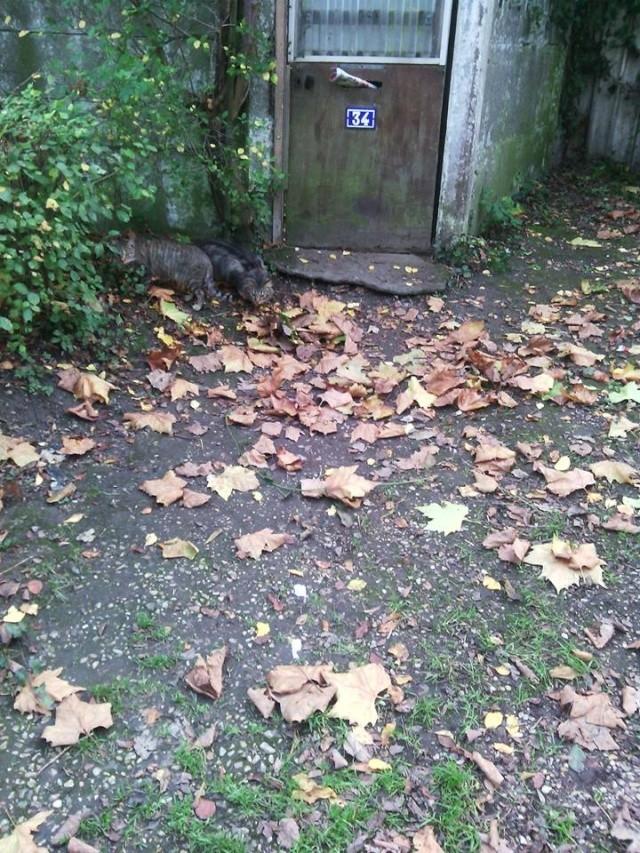 SOS pour 7 chats dont 2 chatons siam dans le 62 - Page 2 12118910
