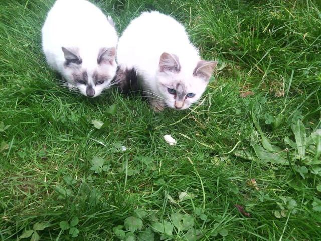 SOS pour 7 chats dont 2 chatons siam dans le 62 12188910