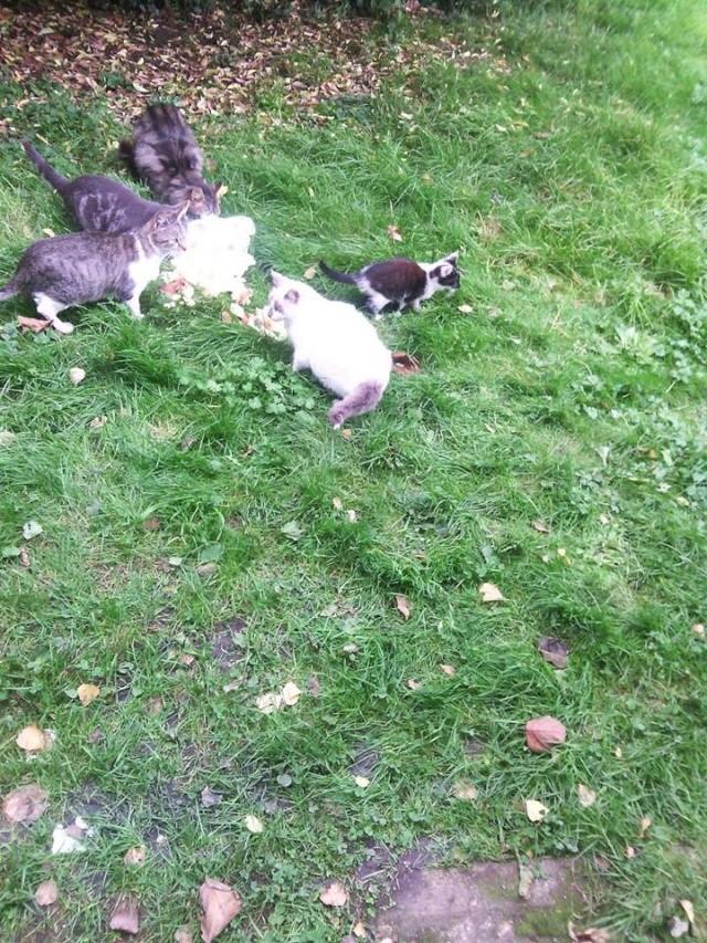 SOS pour 7 chats dont 2 chatons siam dans le 62 12195810