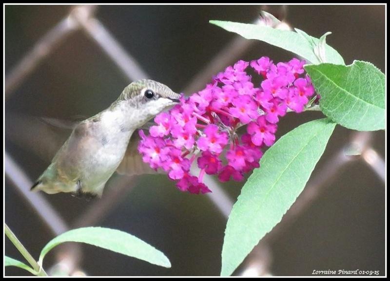 Colibri - arbuste aux papillons 01-09-10