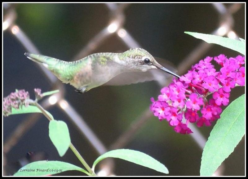 Colibri - arbuste aux papillons 01-09-11