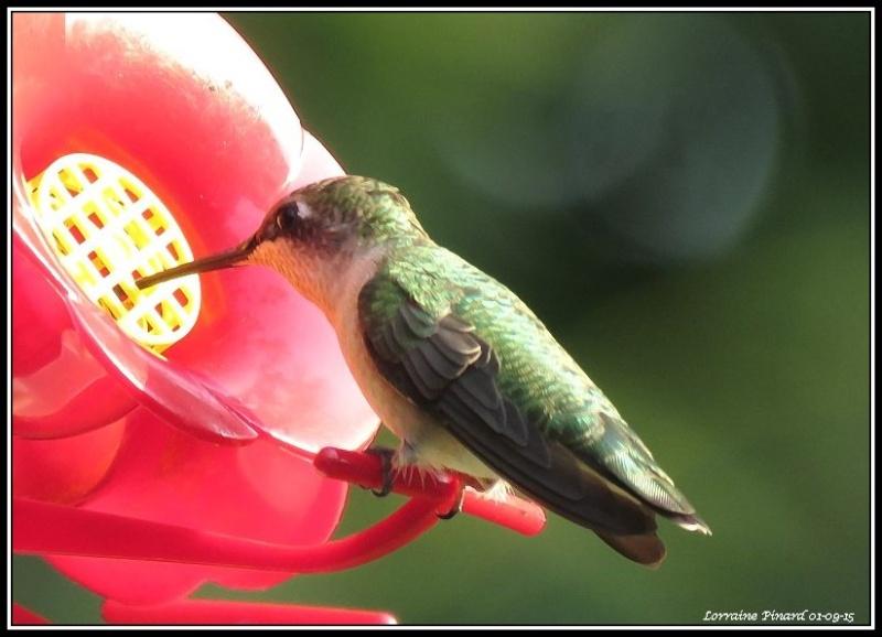 Colibri - arbuste aux papillons 01-09-12