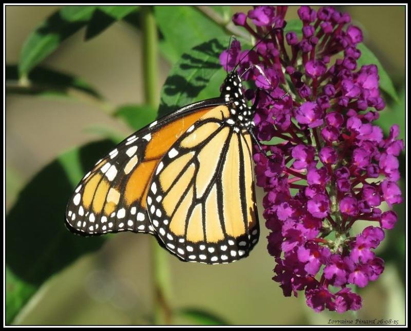 Monarque - arbre aux papillons 26-08-10