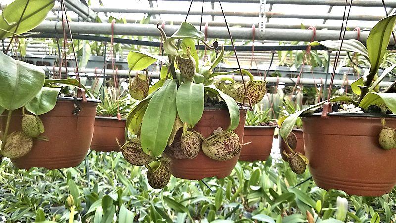 Orchidarium de Prangins (VD) Orchid11
