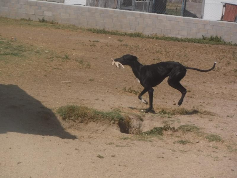 Chamaco galgo noir, plastron blanc Adopté  11875210