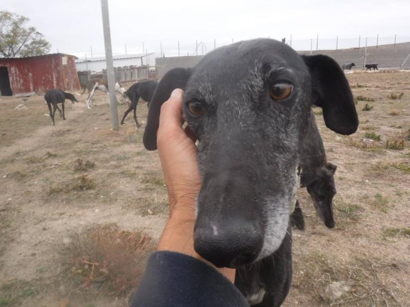 Raul ( Moro) galgo noir Adopté 12028710