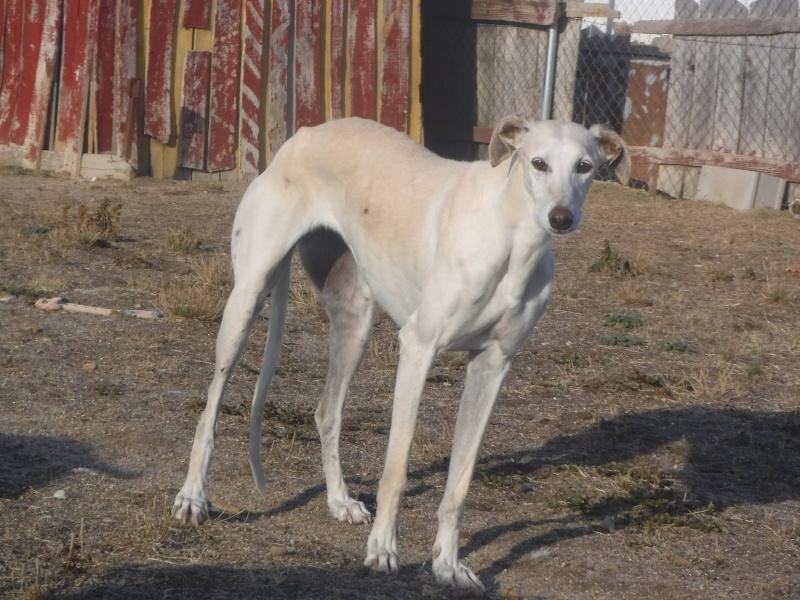 Marlena, galga blanche, 4 ans Scooby France Adoptée  12109911