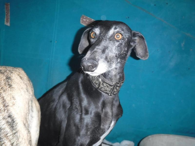 Raul ( Moro) galgo noir Adopté 12194710