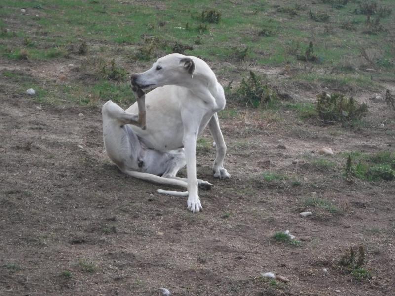 Marlena, galga blanche, 4 ans Scooby France Adoptée  90571210
