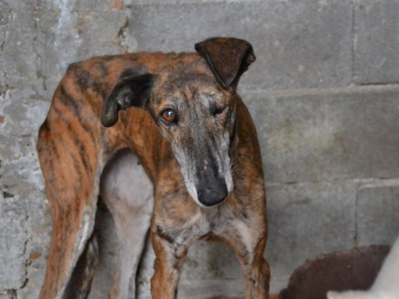 Linda galga bringée 12 ans Adoptée Scooby France  Dsc_0212