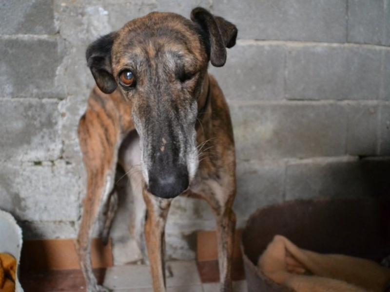 Linda galga bringée 12 ans Adoptée Scooby France  Dsc_0213