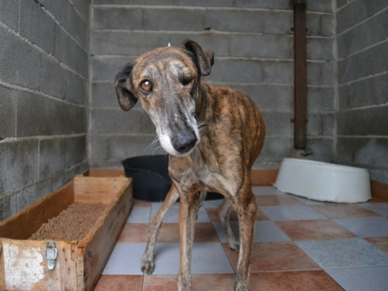 Linda galga bringée 12 ans Adoptée Scooby France  Dsc_0216