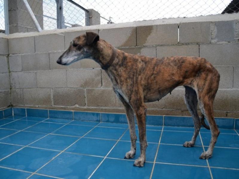 Linda galga bringée 12 ans Adoptée Scooby France  Dsc_0217