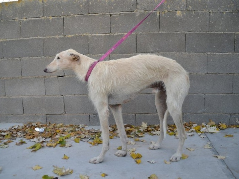 Atila, barbudo beige, 8 ans Scooby France Adopté  Dsc_0220