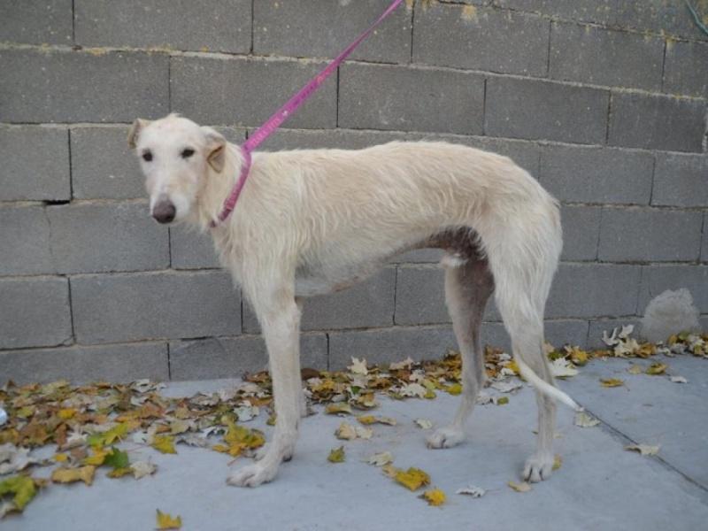 Atila, barbudo beige, 8 ans Scooby France Adopté  Dsc_0221